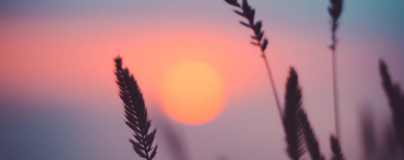 A close up of plants at sunset