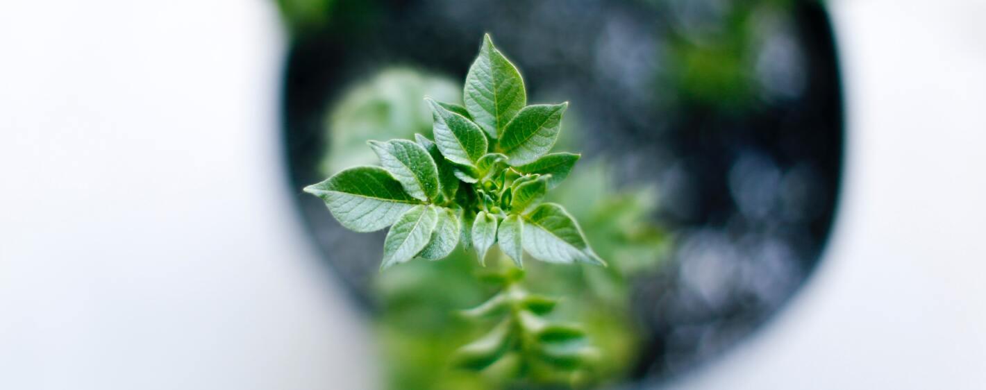 Green plant herb