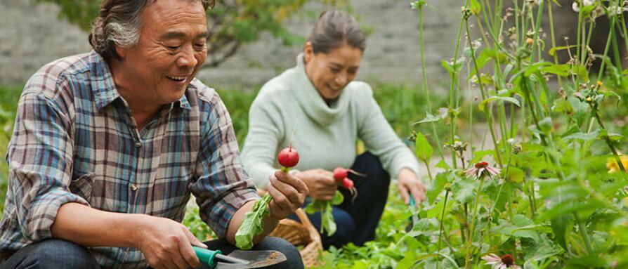 Senior couple gardening radishes