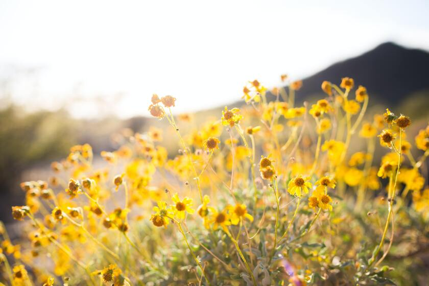 Yellow flowers with mountains in the background