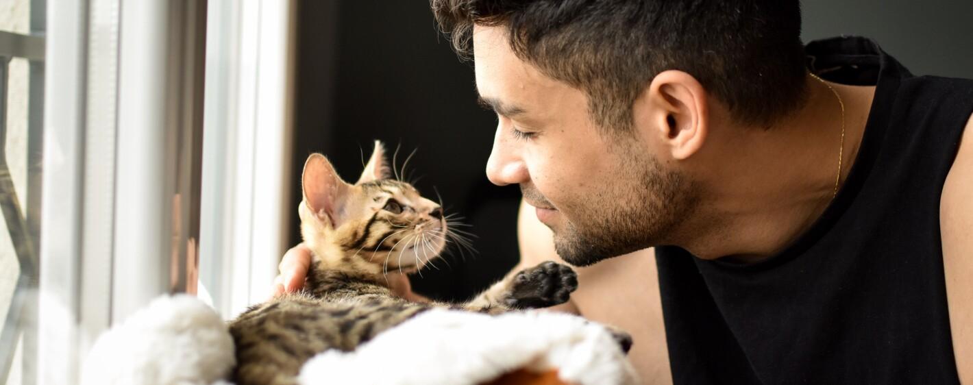 Kitten bengal cat pet looking at a mixed race man