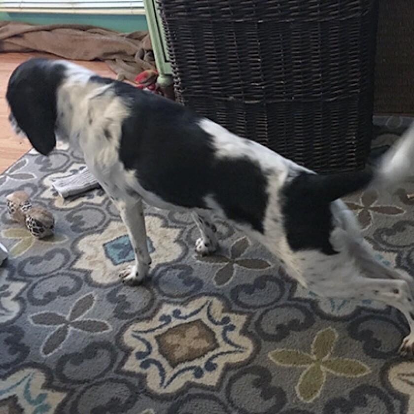Dog in upward facing dog yoga pose