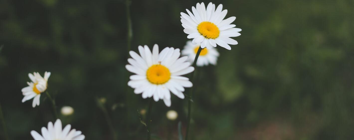 Daisys in a backyard garden